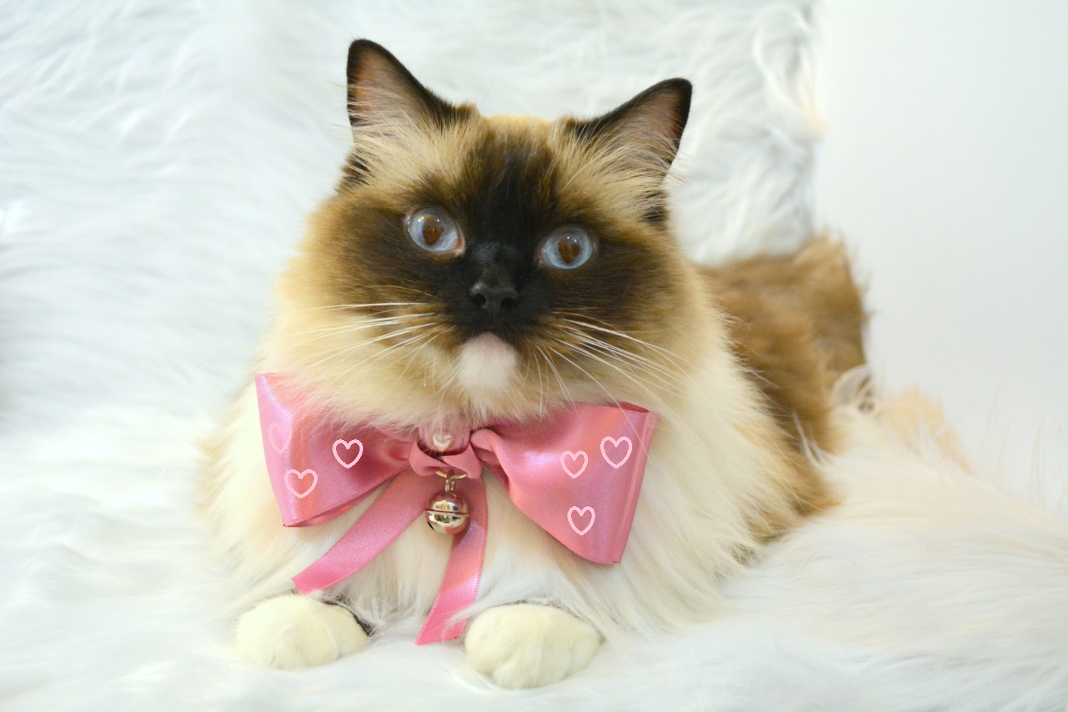 Cat Grooming Services - Aussie Pet Mobile