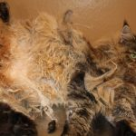 Mobile Grooming for matted cats