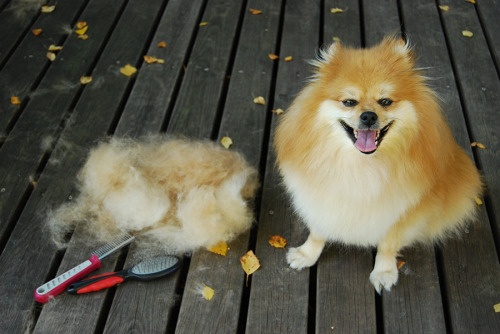 dog-after-grooming-with-fur-pile